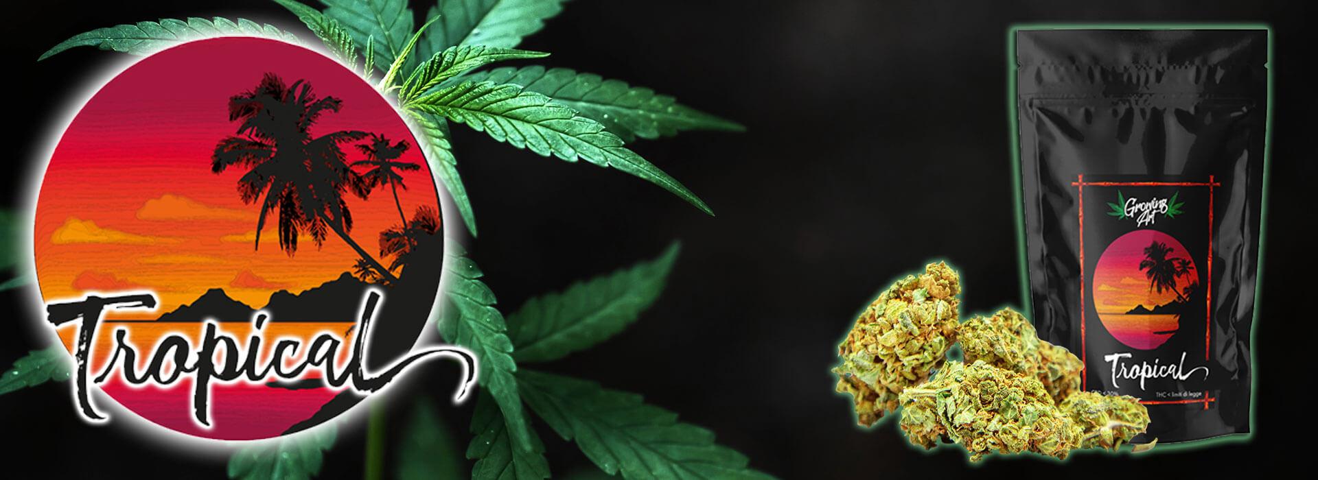 Shop cannabis legale – Infiorescenze canapa light CBD Growing Art Tropical - Slider